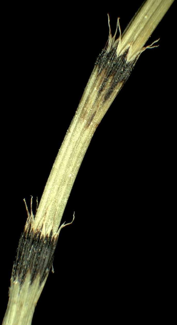 Equisetum variegatum - Specie della flora italiana