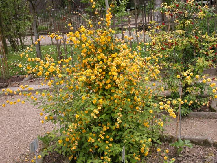 Kerria japonica specie della flora italiana for Kerria japonica
