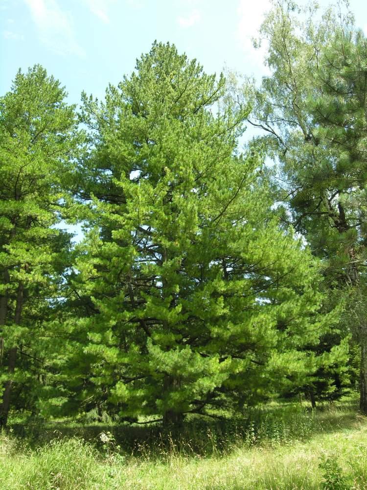 Botanischer Garten Italien Gardasee: Pinus Peuce Griseb.