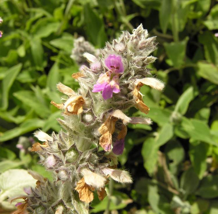 Stachys germanica L.