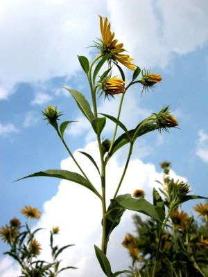 Helianthus multiflorus -