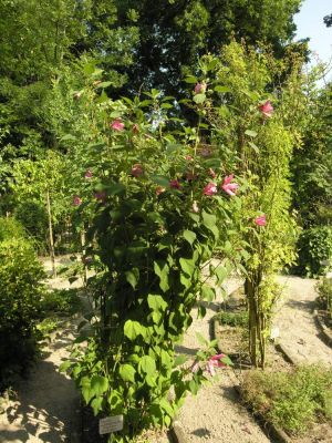 Hibiscus palustris -