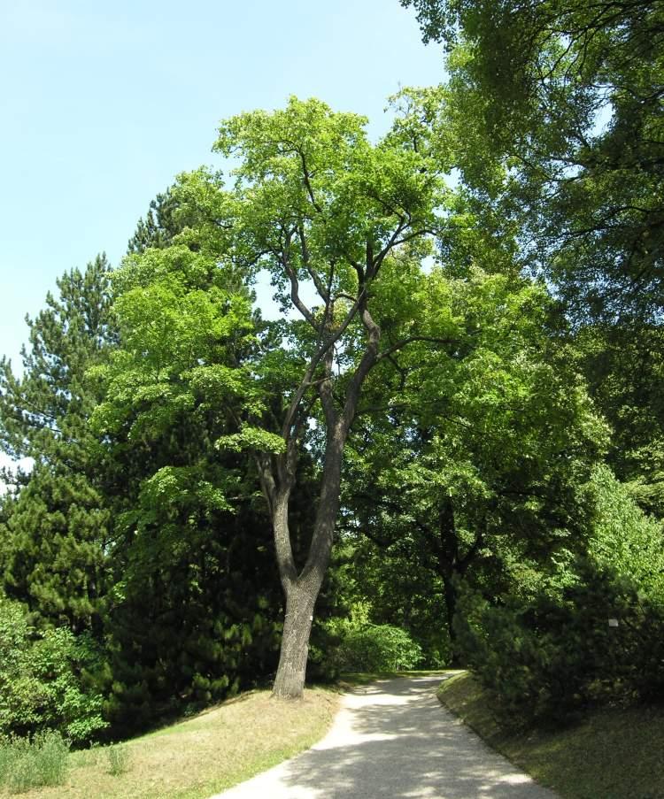 Acer platanoides acero riccio for Acero riccio