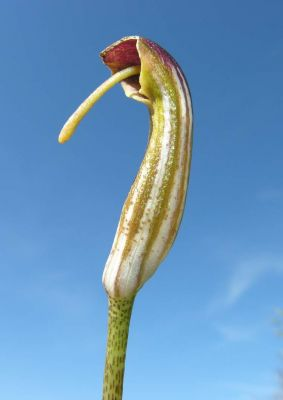 Arisarum vulgare -