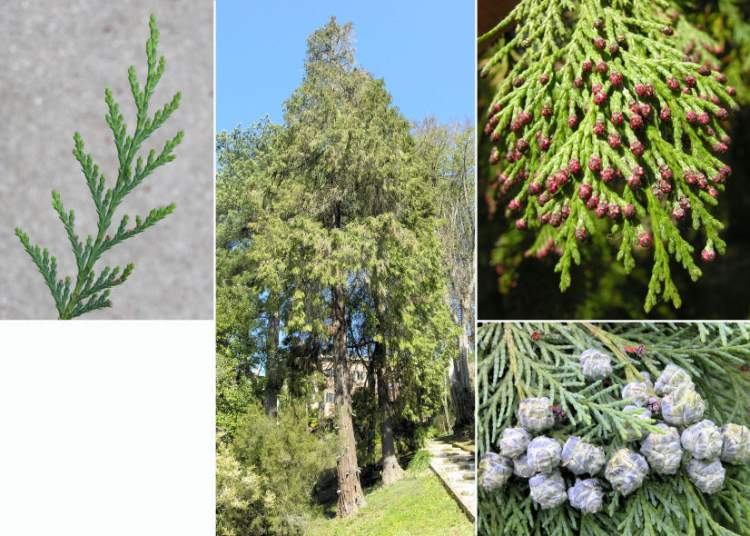 Chamaecyparis lawsoniana (A. Murray bis) Parl.
