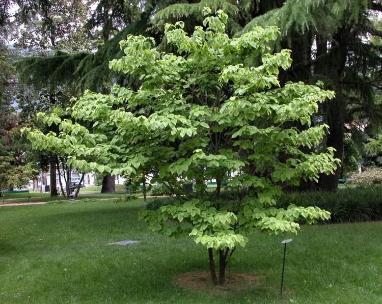 cornus florida l flowering dogwood. Black Bedroom Furniture Sets. Home Design Ideas