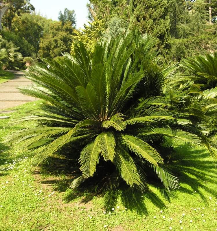cycas palm cycad palm false sago. Black Bedroom Furniture Sets. Home Design Ideas