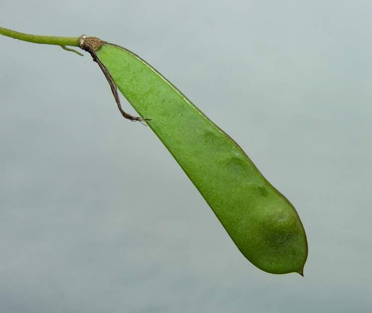 Cytisus emeriflorus - Specie della flora italiana