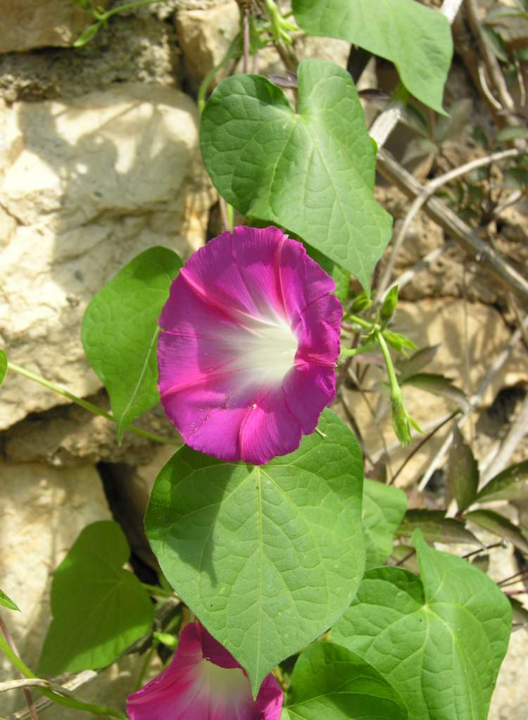 Ipomoea purpurea l roth tall morning glory for Ipomea purpurea