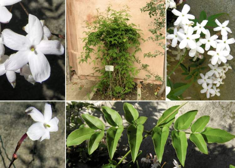 Jasminum officinale L.