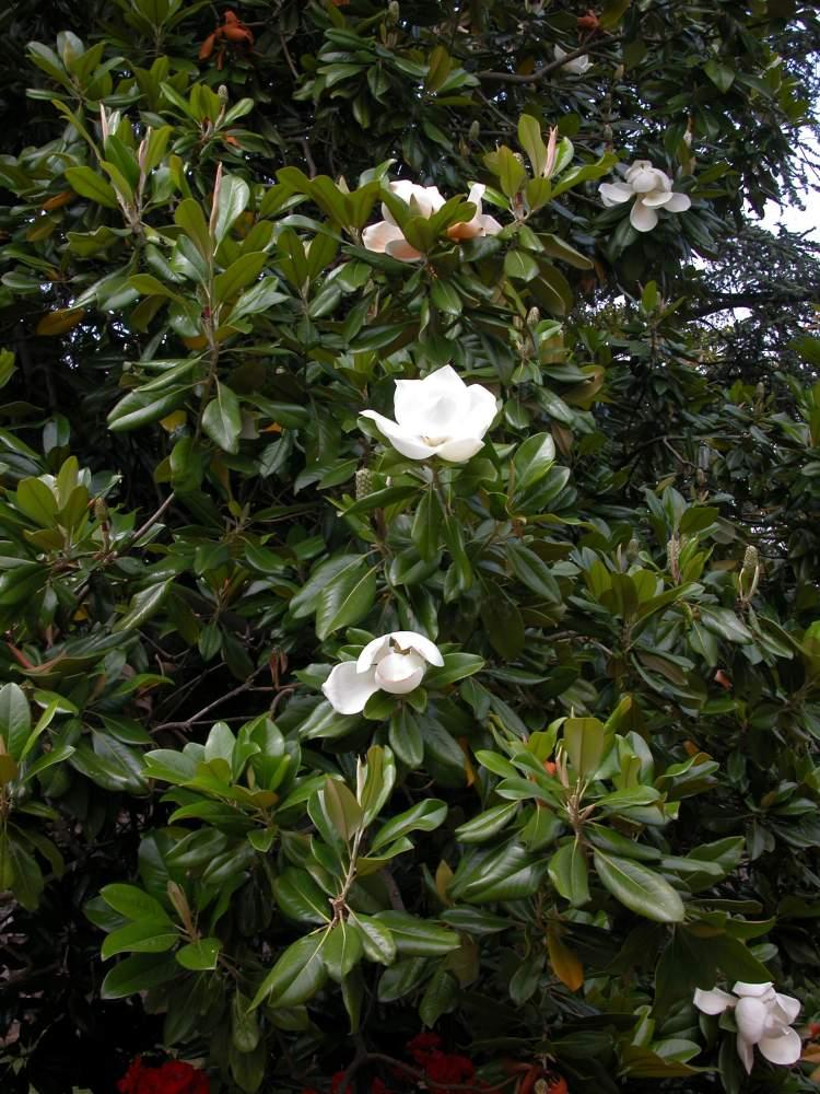 Magnolia grandiflora magnolia - Magnolia grandiflora ...