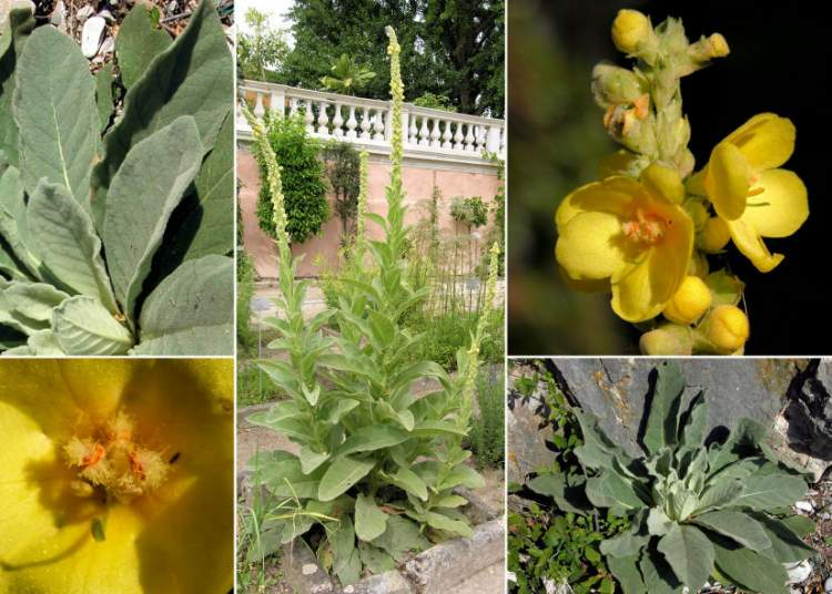 external image verbascum-thapsus-subsp-thapsus33311.jpg