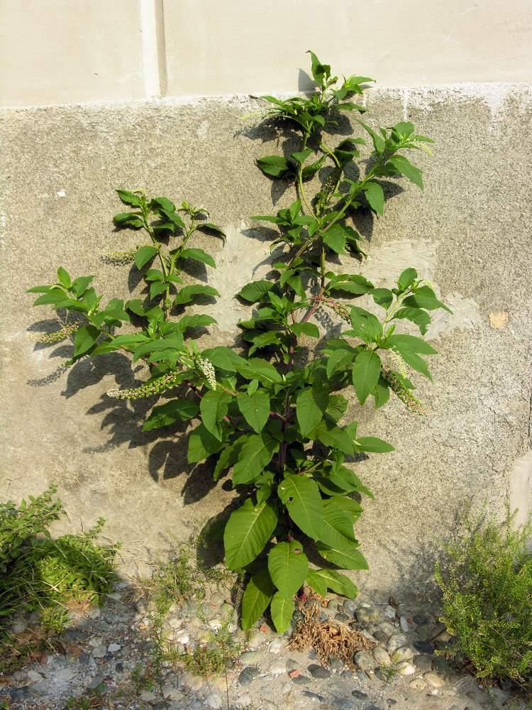 external image phytolacca-americana29647.jpg