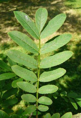Pterocarya stenoptera