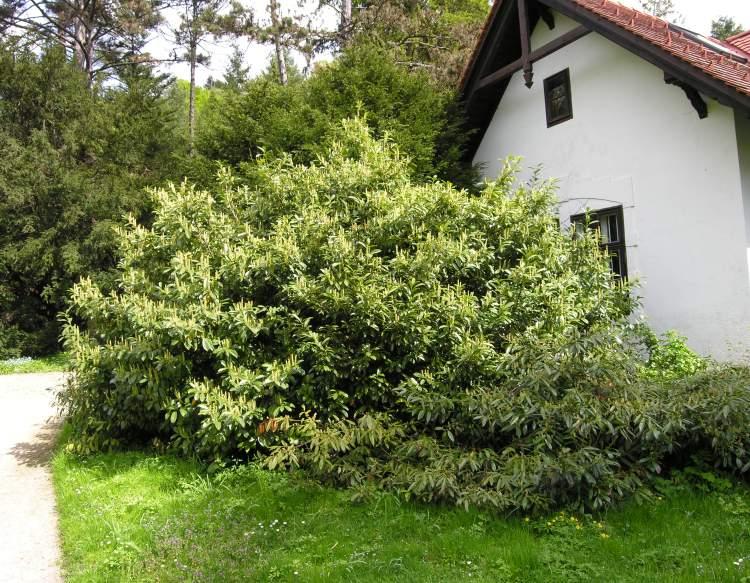 prunus laurocerasus specie della flora italiana. Black Bedroom Furniture Sets. Home Design Ideas