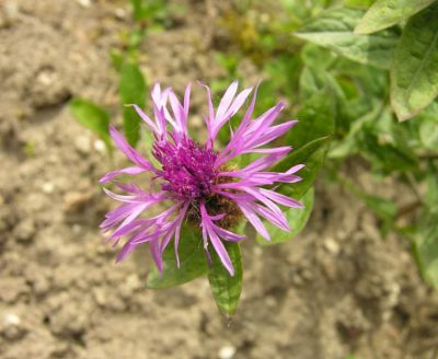 Centaurea nigrescens subsp. nigrescens