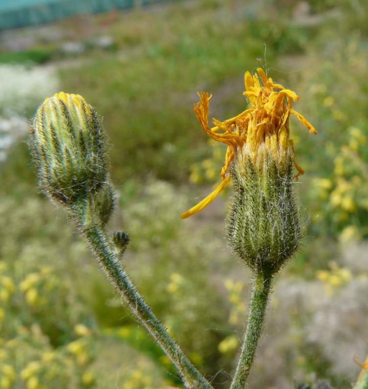 Hieracium glaucum All.