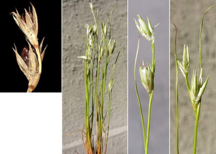 Juncus bufonius [Giunco annuale]
