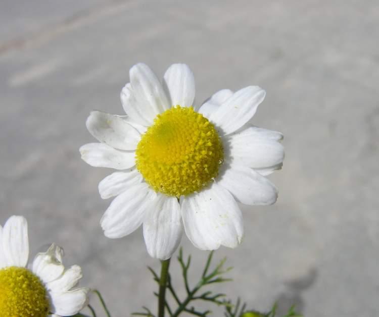 external image matricaria-chamomilla23222.jpg
