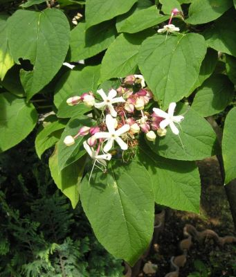 Clerodendrum trichotomum -
