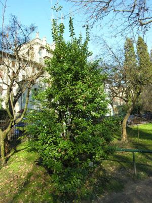 Euonymus japonicus -
