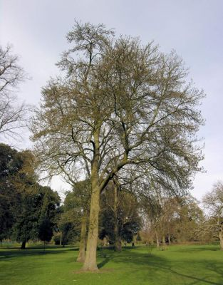 Fraxinus angustifolia subsp. oxycarpa -