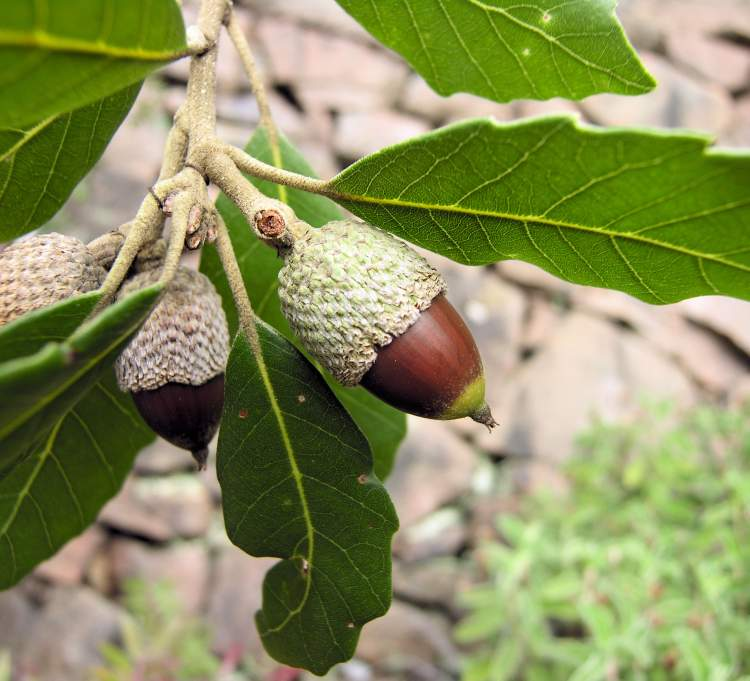 Quercus Congesta Quercus ilex su...