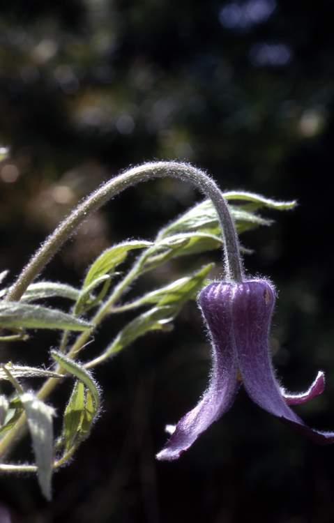 Clematis hirsutissima var. hirsutissima,