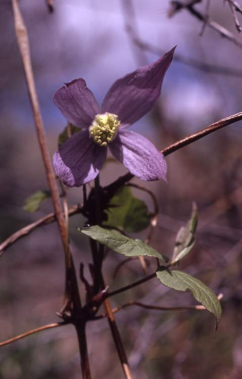 Clematis occidentalis var. grosseserrata,