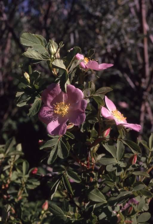 Rosa woodsii Lindl. - Woods' rose
