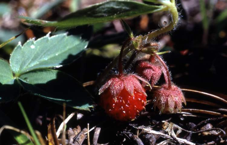 Fragaria virginiana,
