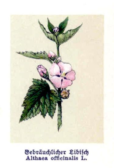 Althaea officinalis L.
