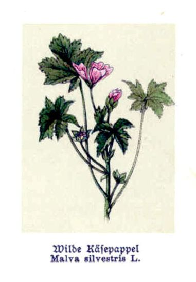 Malva silvestris