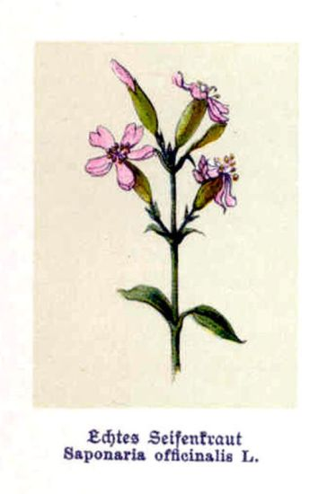 Saponaria officinalis L.