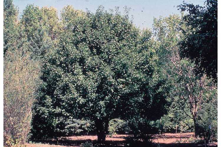Pyrus ussuriensis,