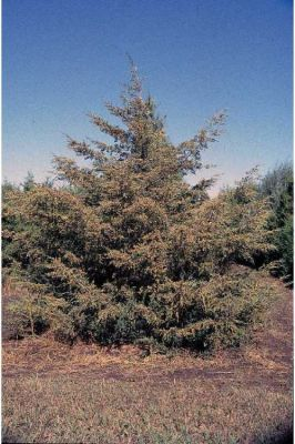 Juniperus virginiana -