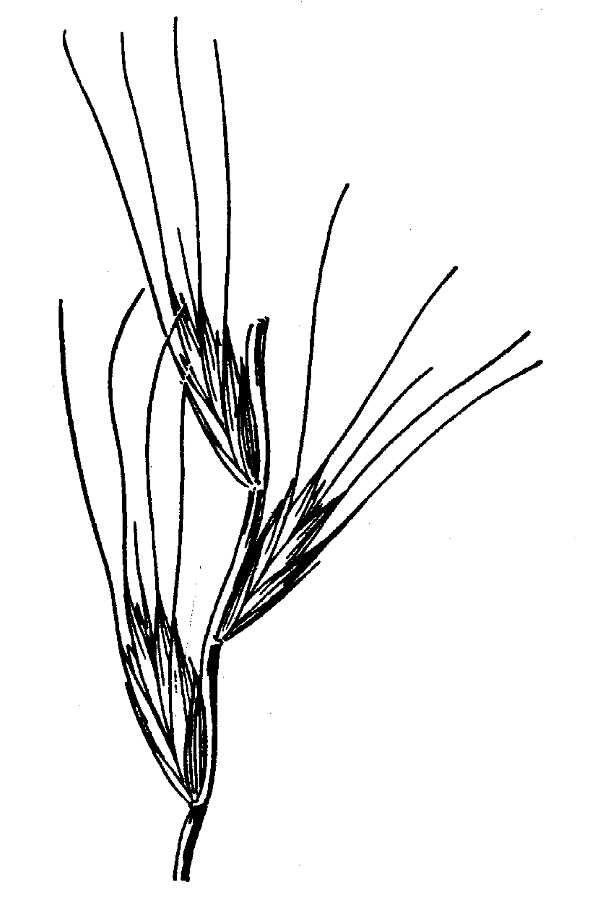 Agropyron arizonicum,
