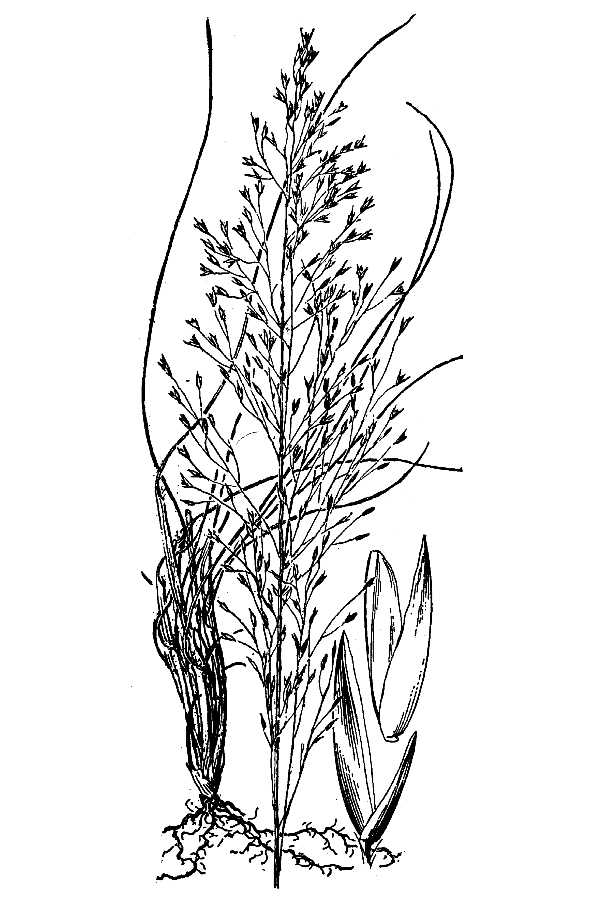 Sporobolus teretifolius,