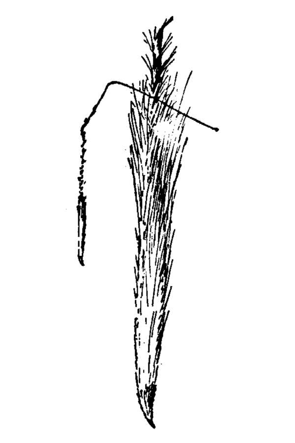 Stipa californica,