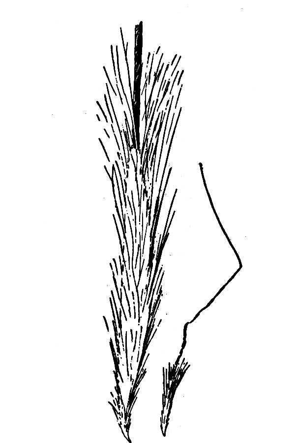 Stipa richardsonii,