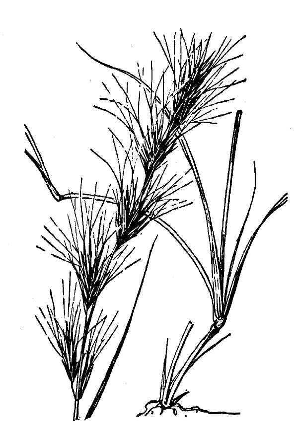 Aristida adscensionis,