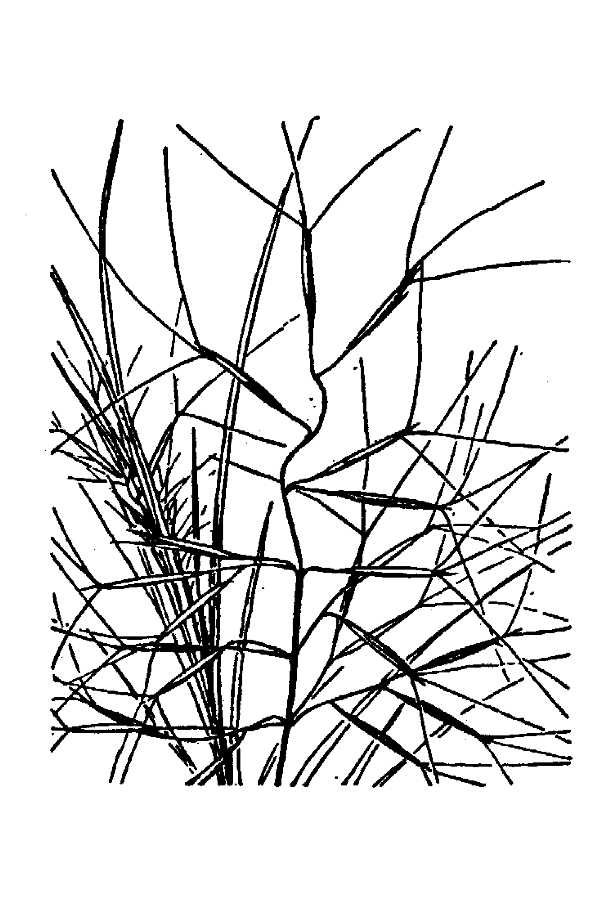 Aristida barbata