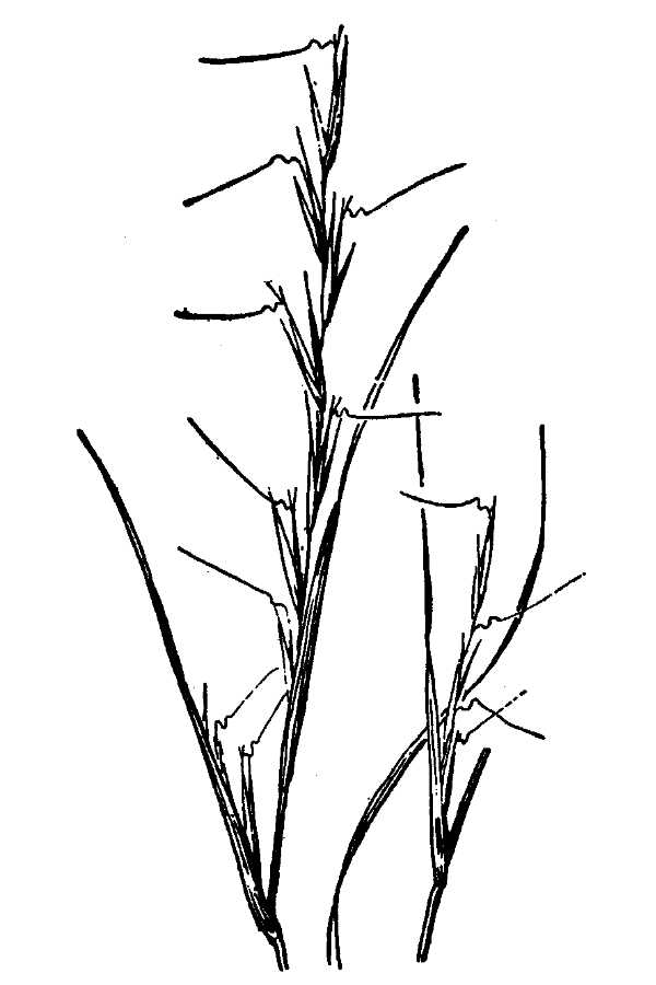 Aristida curtissii