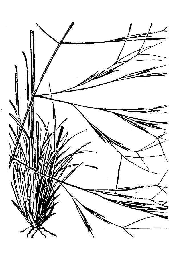 Aristida divaricata,