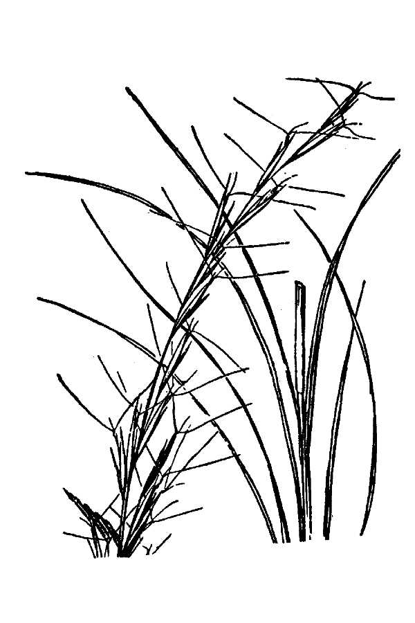 Aristida gyrans,