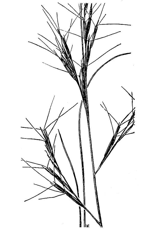 Aristida parishii