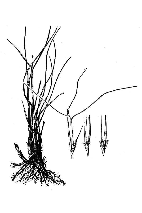 Aristida rhizomophora,