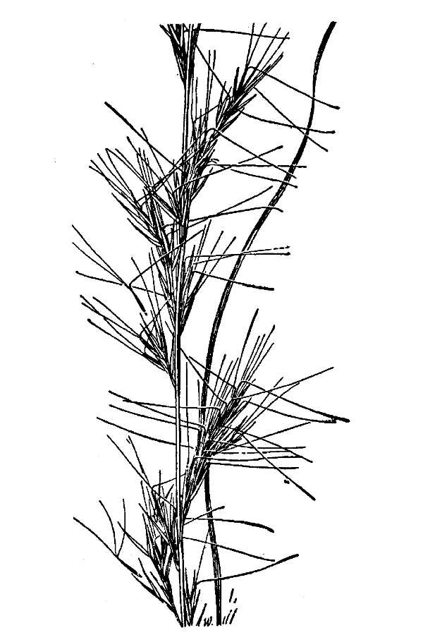 Aristida virgata