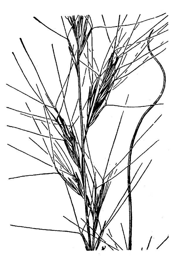 Aristida wrightii