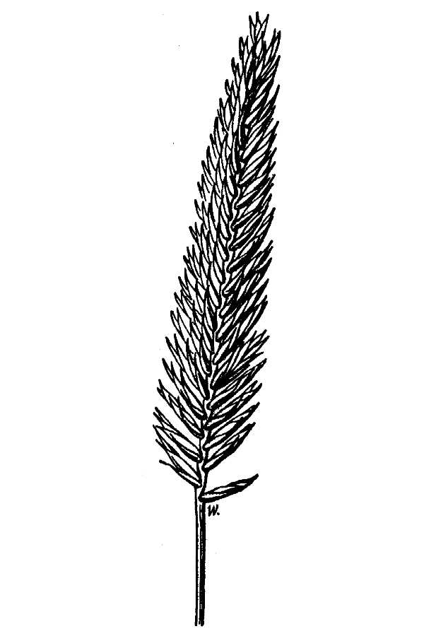 Agropyron desertorum,